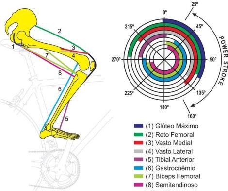 Estes são os grupos musculares envolvidos na pedalada e nos respectivos momentos da mesma.